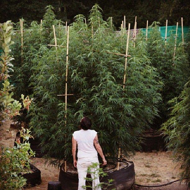 Cannabis . & thenorcalconnection #thenorcalconnection www.thenorcalconnection ...