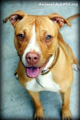 Peaches- (CP-Ark) is an adoptable American Staffordshire Terrier searching for a forever family near Saint Paul, MN. Use Petfinder to find adoptable pets in your area.
