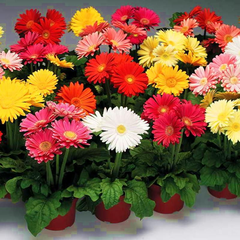 100pcs Gerbera Daisy Plants Easy To Grow Courtyard Free Shipping Ornamental Plant For Home Garden Gerbera Daisy Seeds Gerbera Daisy Gerbera
