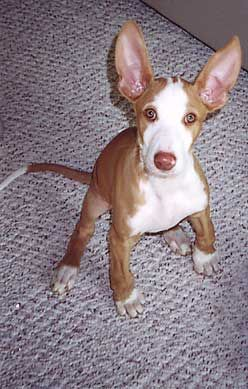 my my ......What big ears you have!!!!Ibizan Hound