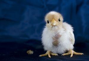 7 razones por qué debes tener gallinas
