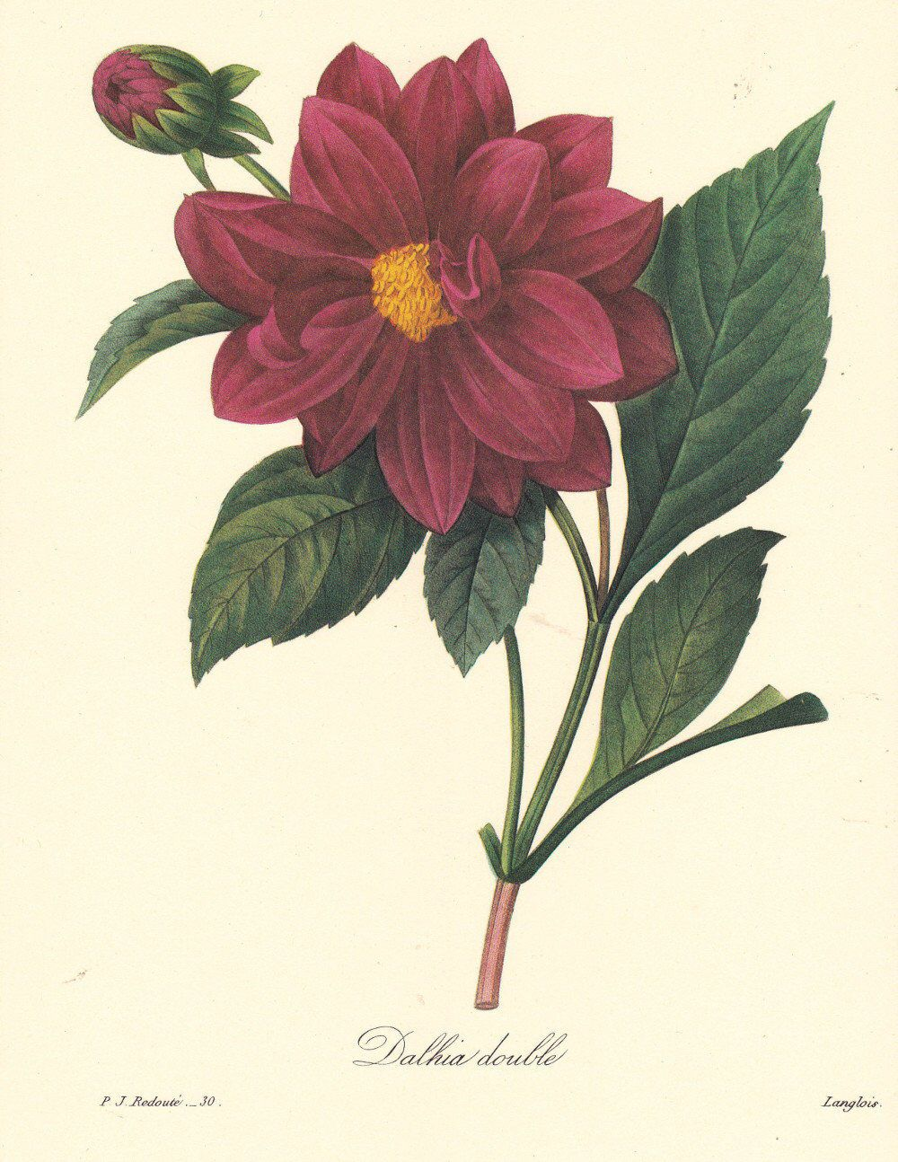 Botanical Digital Download Dahlias By Pierre Redoute Red Etsy Botanical Flowers Print Botanical Flowers Botanical Art