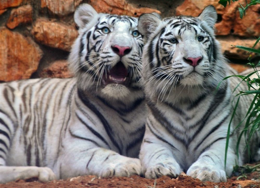 Tiger Facts Characteristics Of Tigers Tiger Facts Beautiful Cats Tiger