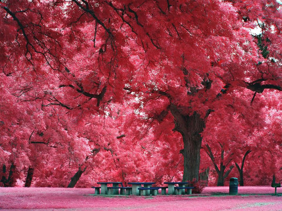 Pink Forest Amazing Nature Photos Japanese Maple Tree Beautiful Places