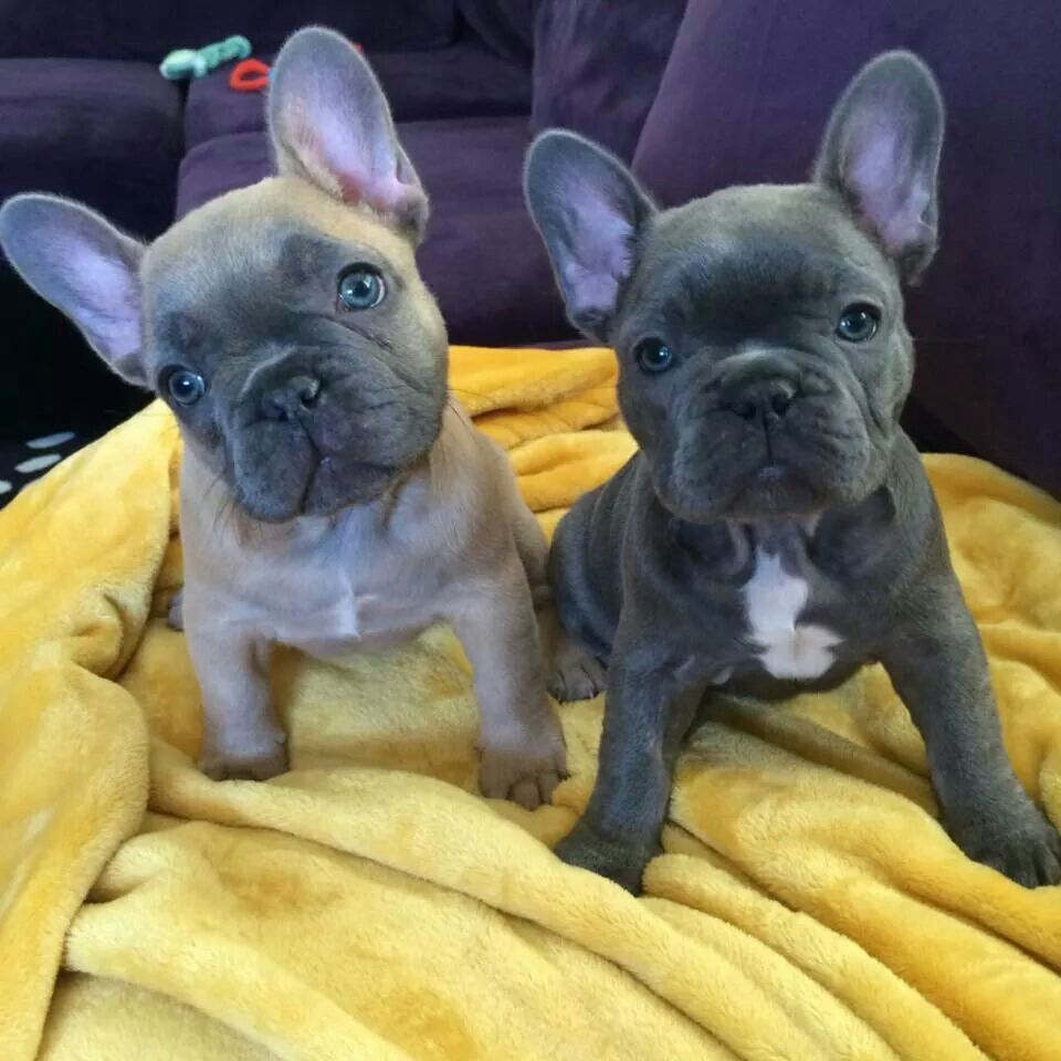 Hazel And Violet French Bulldog Puppies Bulldog Puppies Frenchie Puppy