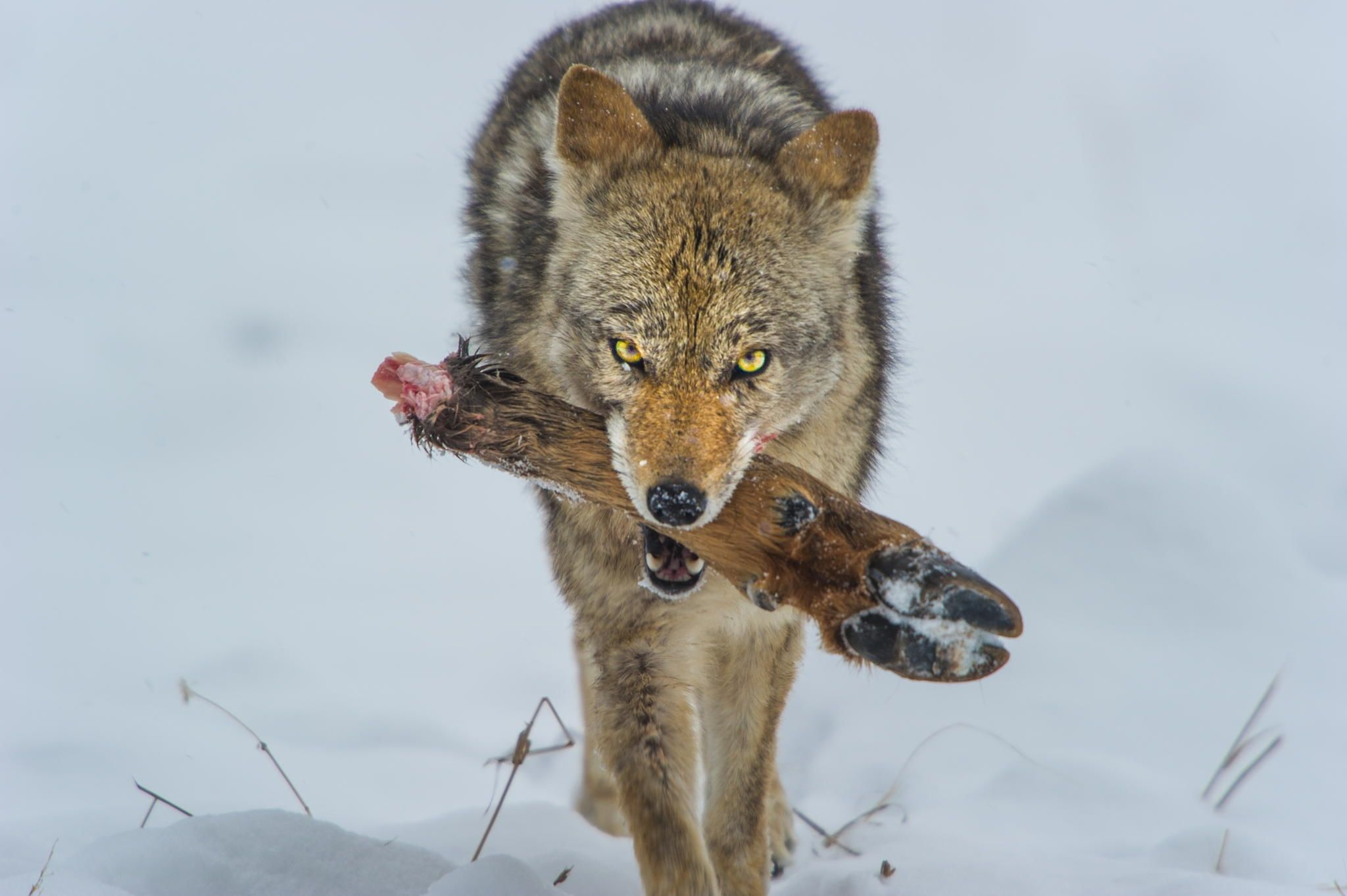 Your in the way Coyote (Canis latrans) feeding on Elk