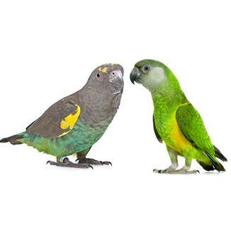 Parrot Shop Shop By Parrot Type Senegal Parrot Parrot Pet Birds