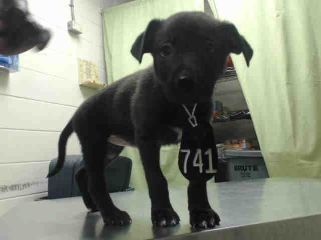 ~05/25/16--HOUSTON- -EXTREMELY HIGH KILL FACILITY - This DOG - ID#A459968  I am a female, black and white Labrador Retriever.  The shelter staff think I am about 4 months old.  I have been at the shelter since May 25, 2016.  This information was refreshed 32 minutes ago and may not represent all of the animals at the Harris County Public Health and Environmental Services.