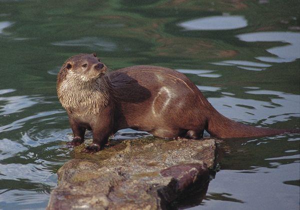 nutria   ecosistema fluvial   Pinterest   Nutrias, Naturaleza y Animales