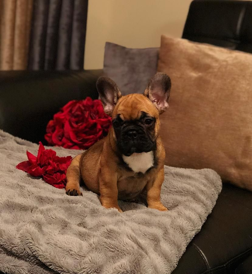 Red Sable French Bulldog Puppy Karelia In Hoobly Classifieds