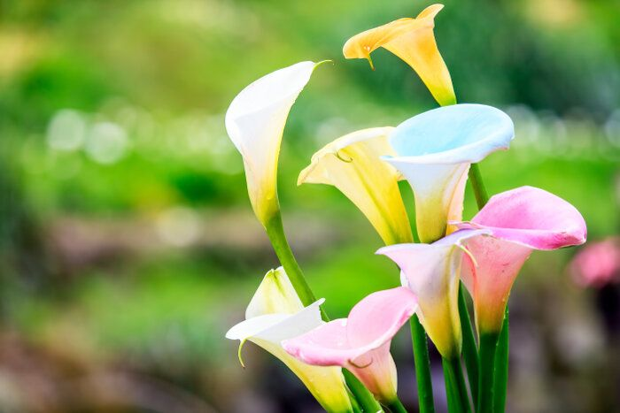 Calla Lily Flower Seeds