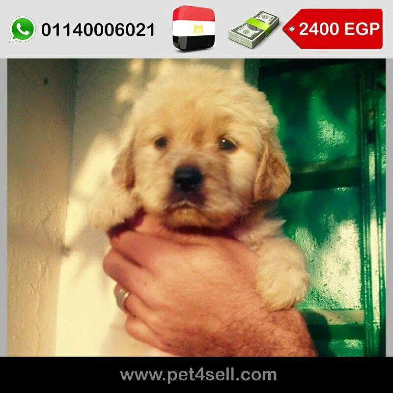 Egypt Cairo Golden Retriever Puppies For Sale Age 37days