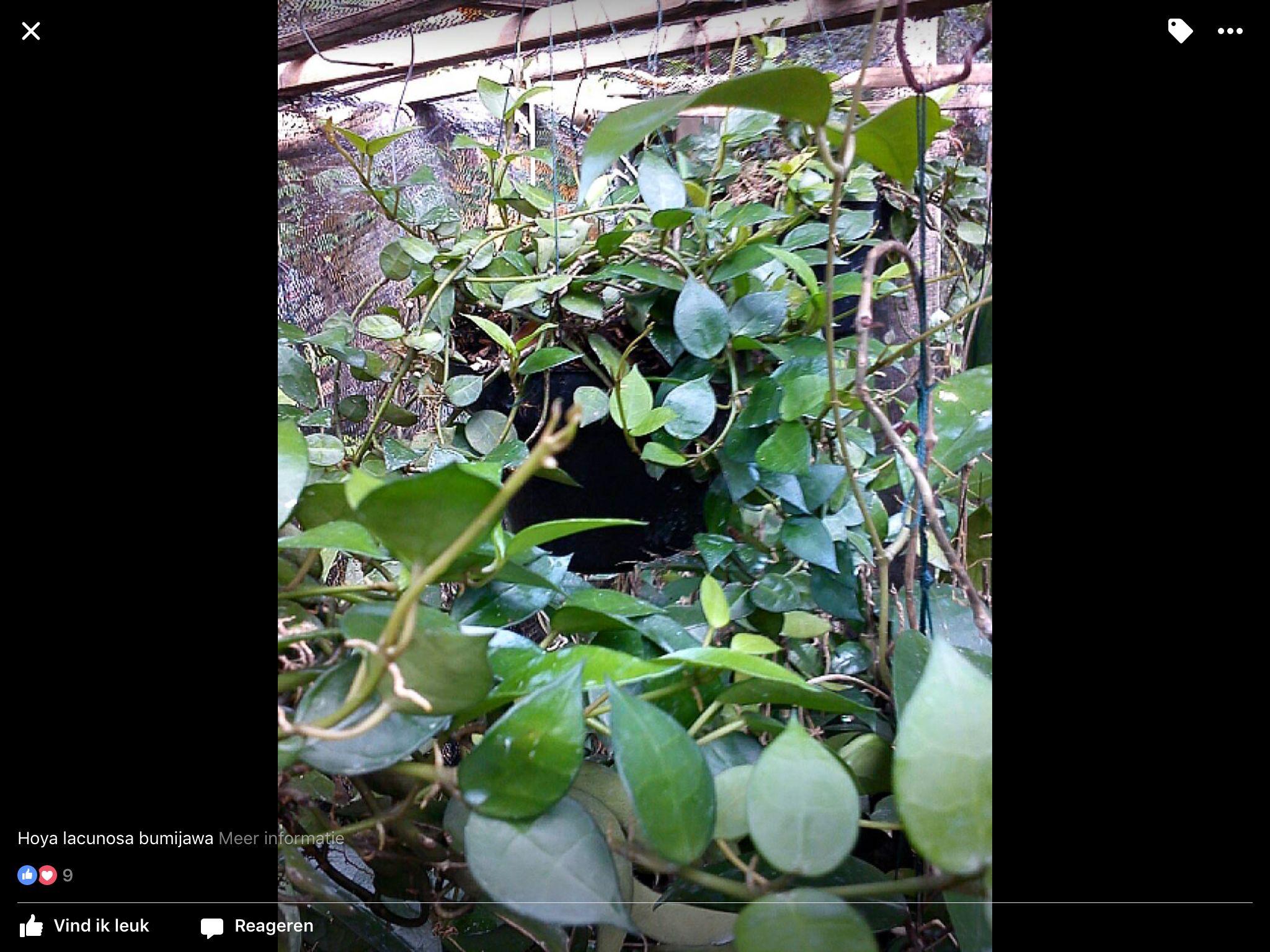 Hoya Lacunosa bamijawa