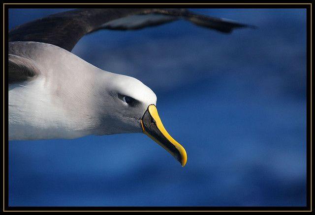 A Buller's Albatross with its distinct yellow detail. #birds #birdwatching #travel #cute #beautiful #wow #animals #wildlife #southafrica #capetown #albatross #ocean
