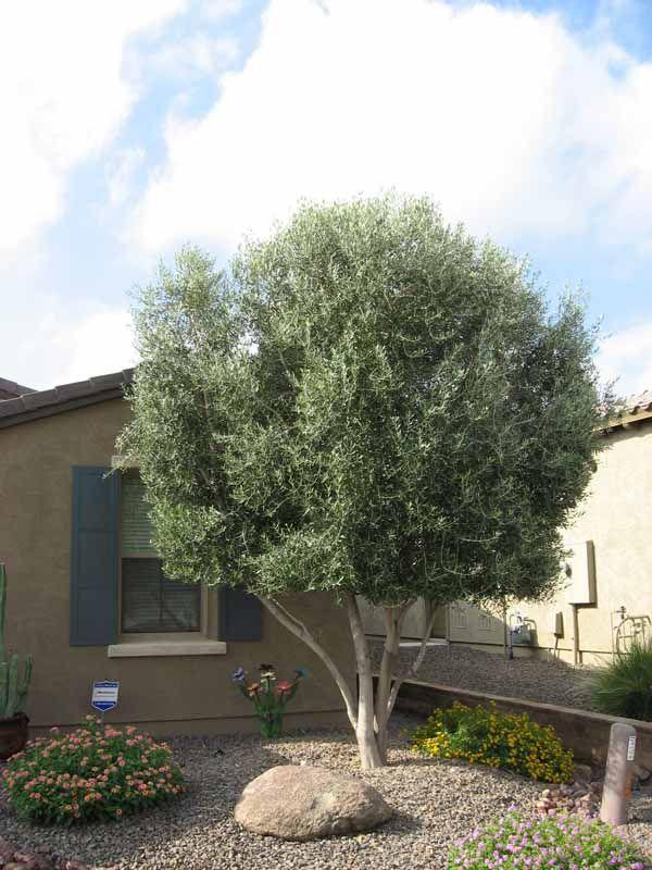 Arizona Trees Kevens Landscape Co