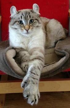 Highlander Cat Breeders Australia Kittens For Sale Cat Breeder Highlander Cat Fluffy Cat