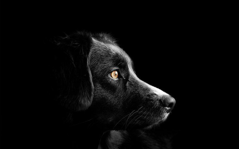 Black Dog Muzzle Portrait Wallpaper Cute Dogs Images Dog Images Pictures Cute Puppies