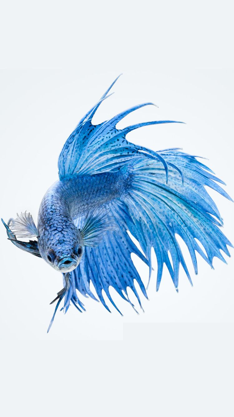 Apple iPhone 6s Wallpaper with Blue Betta Fish in White