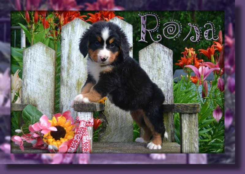 Bernese Mountain Dog Puppies For Sale That Doggy In The Window That Doggy In The Window Mountain Dogs Bernese Mountain Dog Bernese Mountain Dog Puppy