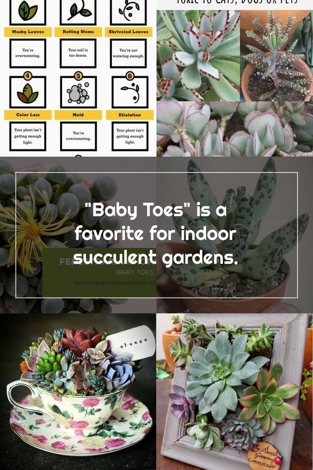 Fenestraria Rhopalophylla Baby Toes Succulent Care And Propagation Information Card In 2020 Planting Succulents Succulents Succulents Indoor