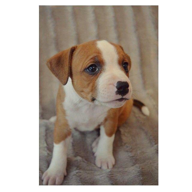 """Igår var vi igjen å susset på Bella ❤️ Som nå er 6uker  Om (under) to uker flytter hun inn hos oss! #auroraweightloss #staff #mystaff #staffnorge #Engelskstaffordshirebullterrier #puppy #dog"" Photo taken by @aurorahofff on Instagram, pinned via the InstaPin iOS App! http://www.instapinapp.com (04/27/2015)"