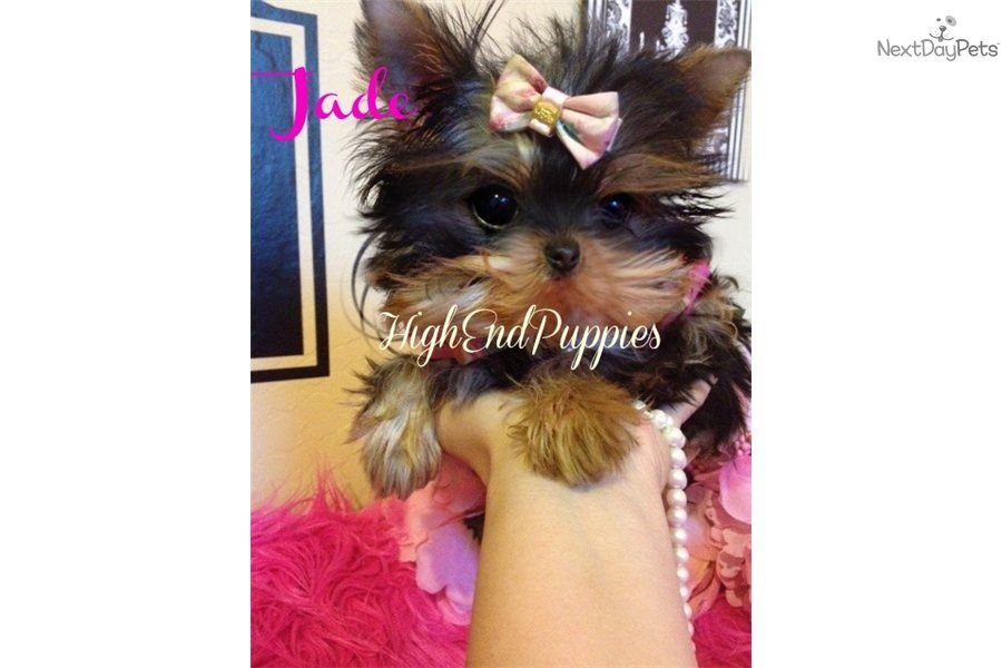 Yorkshire Terrier Yorkie For Sale Yorkie Puppy For Sale Yorkie Puppy Yorkie