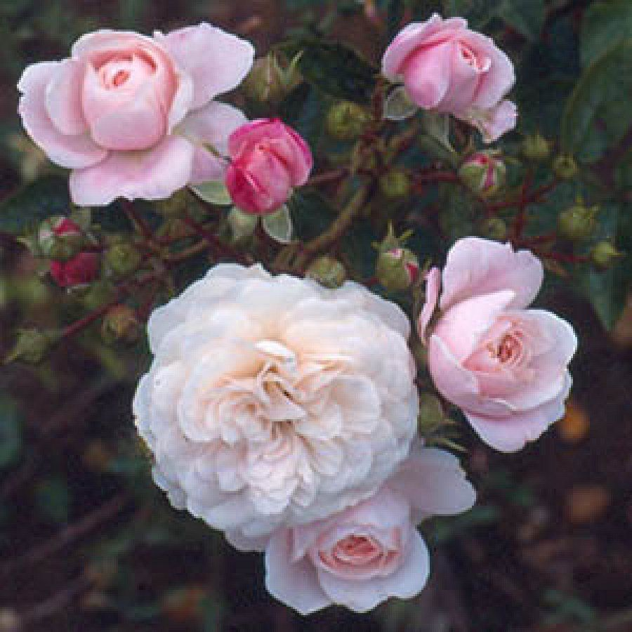 Roses In Garden: Barakura, Ground Covering, Peter Beales Roses, Www