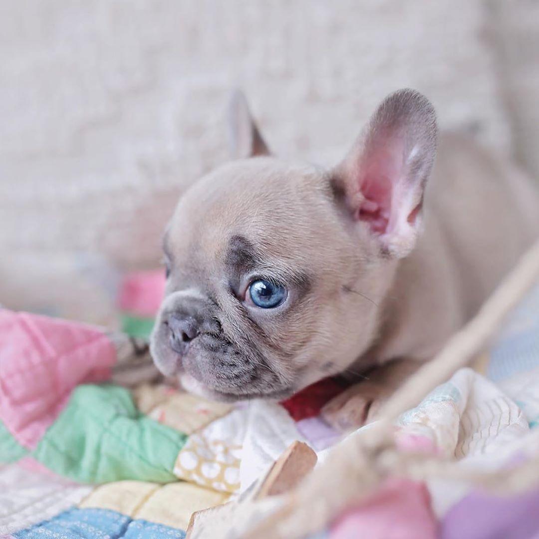 Blue Meryl French Bulldog Pup Adorable Canine Sweet Blue Meryl Pup Blue Eyes Eyes White Blue Puppy French Bulldog Puppies Animals Cute Baby Animals