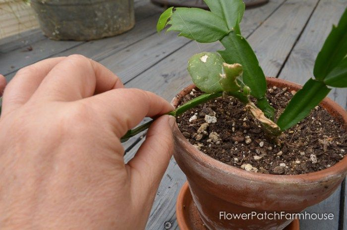 How to Root Christmas Cactus Plant from a cutting, a simple way to