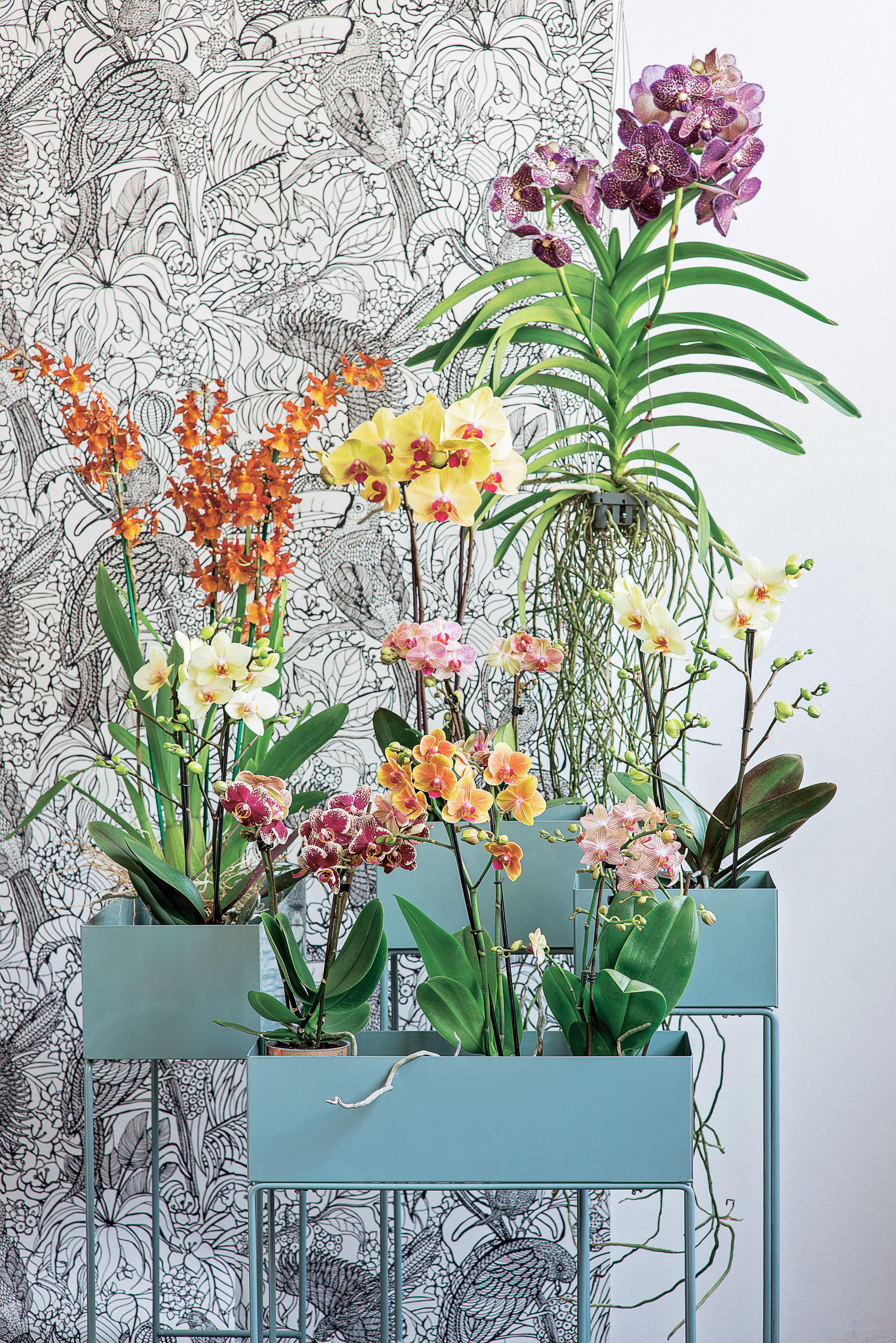 orchidee vanda truffaut