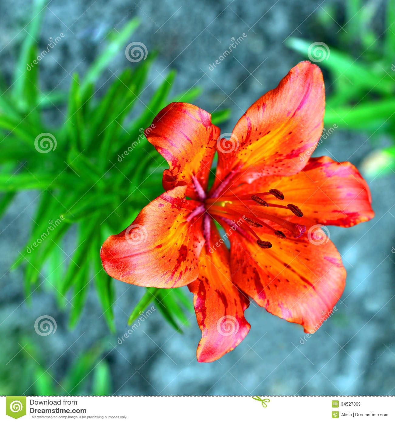 Tiger lily flowers stock flower images pinterest tiger lily tiger lily flowers izmirmasajfo