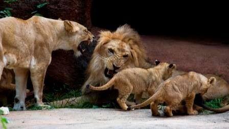 Lions at Zoo Atlanta
