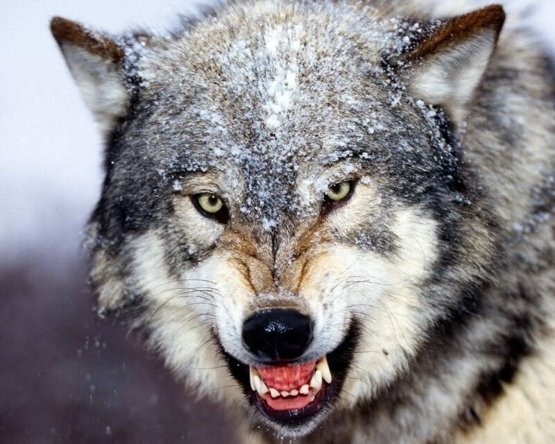 A gray wolf can live upto 16 years ini the wild, wuth gestation periods of 60-63 days. It lives in deep forests, tundras, and taigas.     It ranges from Alaska, Canada, and portions of Western Montana, also isolated areas of Wyoming, Idaho, Minnesota, and Michigan, remote regions of Europe and Asia. As a conclusion : Northern Hemispehere.     Thanks to protected status towards the gray wolf, it is making a slow comeback in North America.