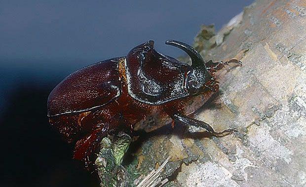 Oryctes Nasicornis