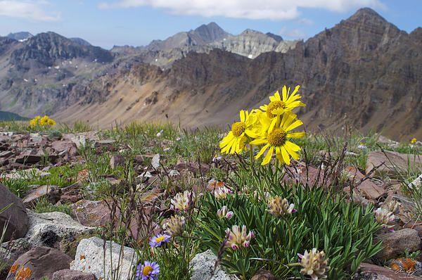 Alpine Wildflowers With Castle Peak 14 265 And Cathedral Peaks Behind Photo Taken From Electric P Elk Range Colorado