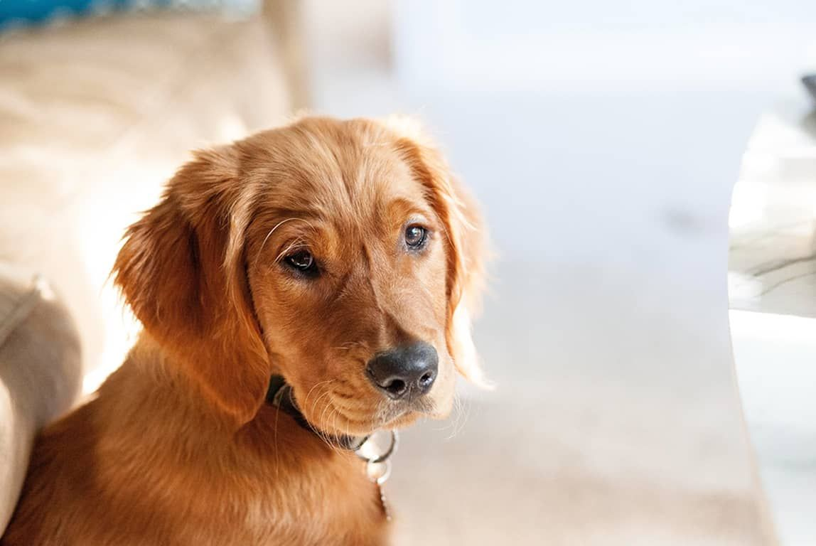 How To Budget For A New Dog Dog Ages Golden Retriever Easiest