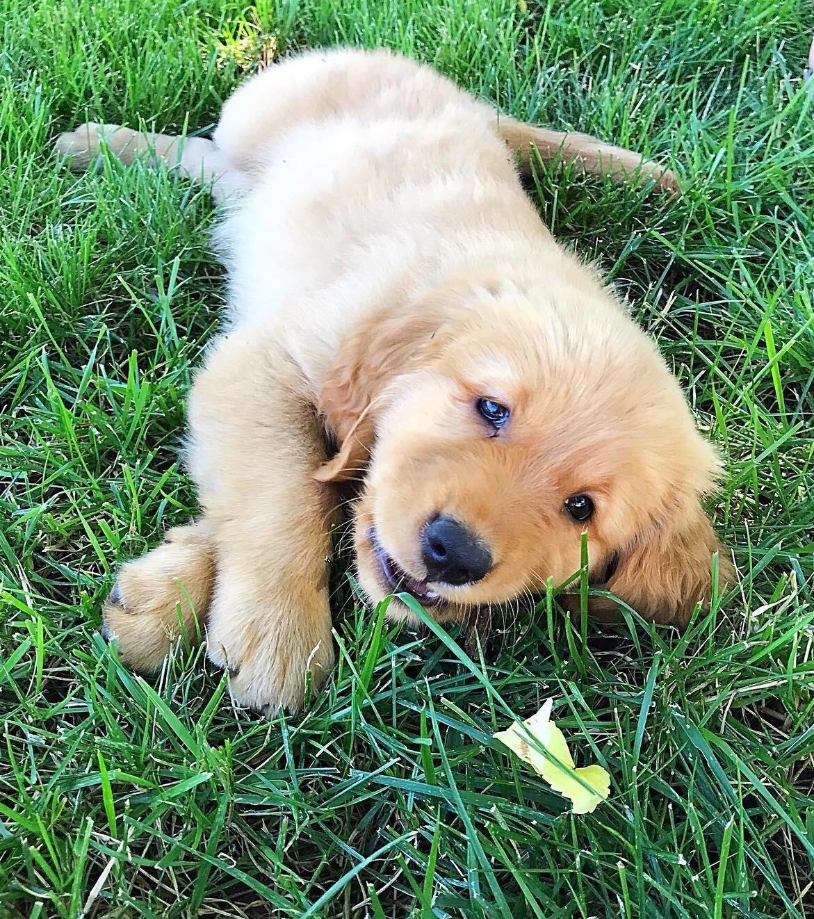 47 Adorable Golden Retriever Mix Breeds