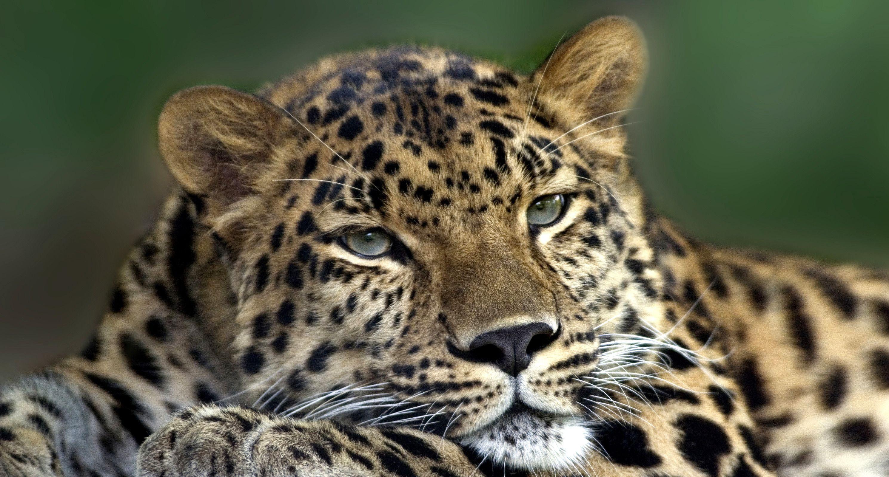 Обои леопард, Кошка, морда. Кошки foto 19