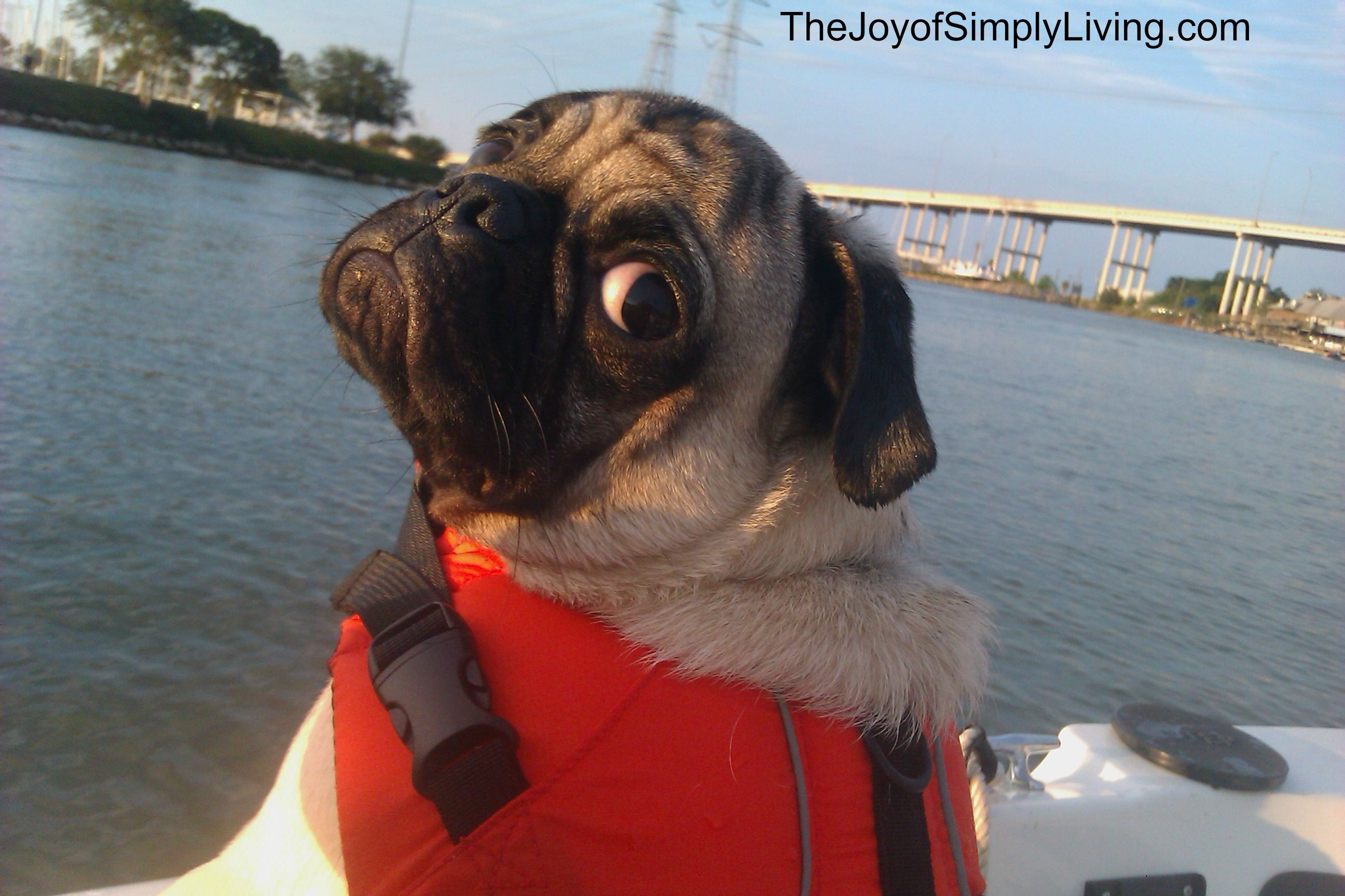 Pug in a boat.   Pug + Life Jacket = Too Much Cuteness!