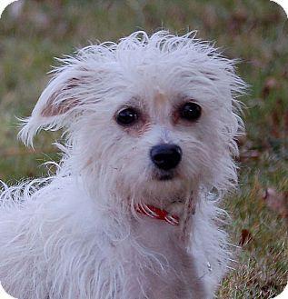 Yoda Adopted Dog Mora Mn Chihuahua Bichon Frise Mix Hairless Cat Cat Breeds Chihuahua