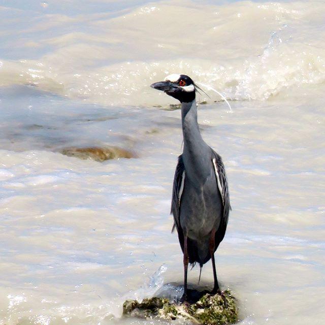 "10 Me gusta, 1 comentarios - Jen Rivers (@rivers_jen) en Instagram: ""#yellowcrownednightheron #belize #caribbeansea #takenfrommydeck #wildlife #heron #nature"""
