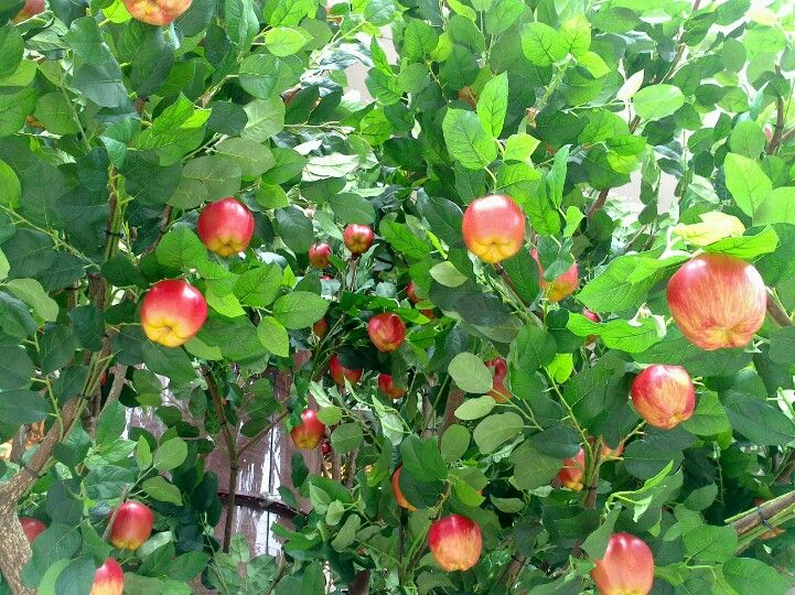 Apple tree right in front of SOGO dept.