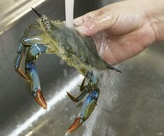 Learn how to clean a soft-shell crab in four easy steps and watch a quick video demonstration.