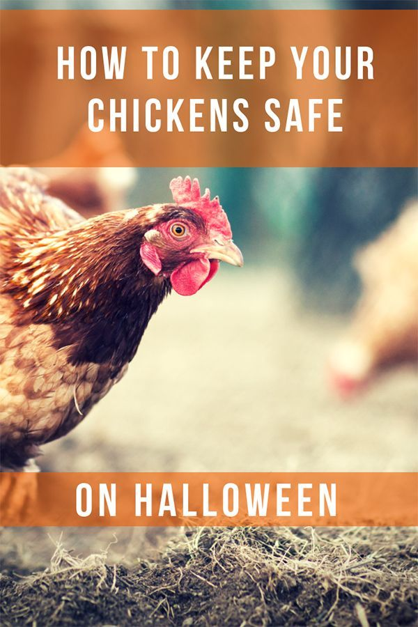 How To Keep Your Chickens Safe On Halloween   Chicken Care ...