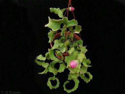 Cactus Colgante