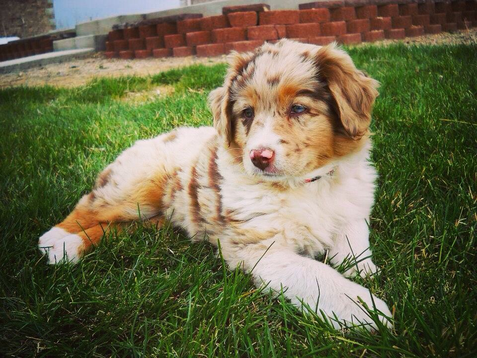 Red Merle Australian Shepherd Puppy Animals! Pinterest
