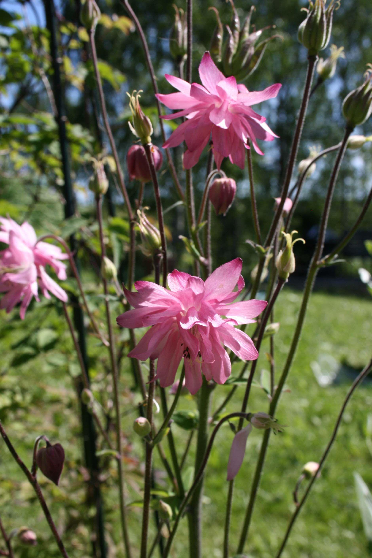 Buy Aquilegia Pink Barlow Online Flower Aesthetic Pink Flowers Hardy Perennials