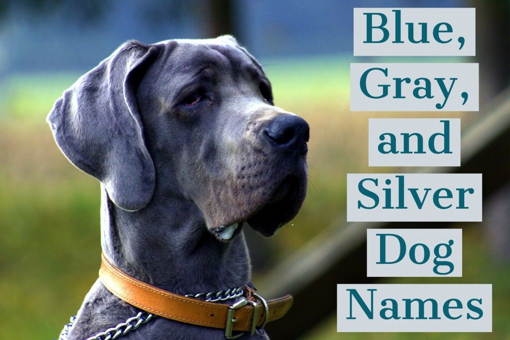 150 Unique Names For Blue Gray And Silver Dogs Dog Names Dog
