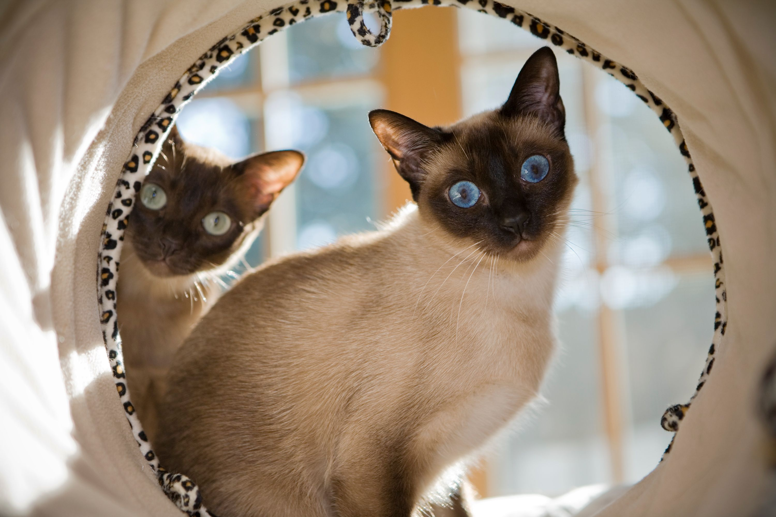 Experts Say These Are The Smartest Cat Breeds In 2020 Tonkinese Cat Cat Breeds Cat Breeder