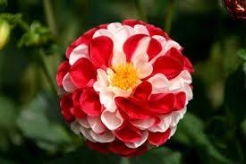 Las Rosas Mas Bellas Buscar Con Google Flores Exóticas Flores Flores Tropicales